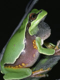 Male Pine Barrens Treefrog  Hyla Andersoni  Calling or Singing