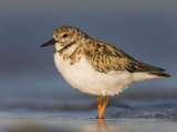 Ruddy Turnstone in Winter Plumage  Arenaria Interpres  Fort Desoto Park  Florida  USA