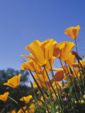 California Poppies  Eschscholzia Californica  the State Flower of California  USA