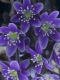 Round-Lobed Hepatica Flowers  Hepatica Americana  Eastern North America