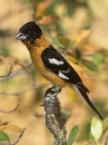 Male Black-Headed Grosbeak (Pheucticus Melanocephalus)  Western North America