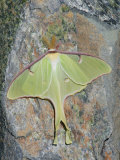 Luna Moth  Actias Luna   Northeastern USA