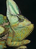 Veiled Chameleon  Chameleo Calaptractus  Yemen