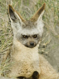 Bat-Eared Fox Peering from its Den  Otocyon Megalotis  East Africa