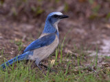 Florida Scrub Jay  Aphelocoma Coerulescens  an Endangered Species  Southern Florida  USA