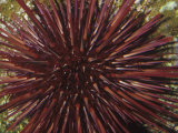 Red Sea Urchin (Strongylocentrotus Franciscanus)  Pacific Coast of North America