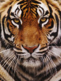 Bengal Tiger Face  Panthera Tigris  Asia