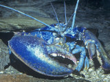 American Lobster Blue Color Phase (Homarus Americanus) Atlantic Coast  USA