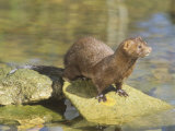 Mink on Shore Rocks (Mustela Vision)  Mustelidae USA