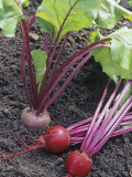 Beets  Early Wonder Tall Top Variety