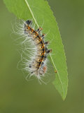 Saturnid Moth Third Instar Caterpillar Eating a Leaf (Neoris Huttoni)