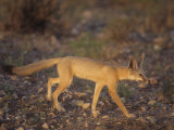 Kit Fox (Vulpes Macrotis)  Southwestern USA