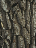Bark of the Black Cottonwood Tree (Populus Balsamifera)  Western USA