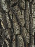 Bark of the Black Cottonwood Tree (Populus Balsamifera)  Western USA