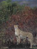 Cheetah on the Hunt  Actinonyx Jubatus  Masai Mara  Kenya  Africa
