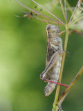 Two-Striped Grasshopper (Melanoplus Bivittatus)