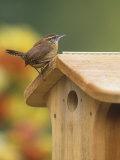 Carolina Wren at its Nest Box or Bird House (Thryothorus Ludovicianus)  Eastern USA