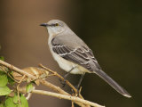 Northern Mockingbird  Mimus Gundlachii   USA