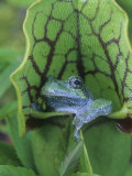 Gray Treefrog  Hyla Versicolor  Sitting in a Pitcher Plant  Sarracenia  Eastern USA