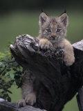 Canadian Lynx Kitten  Lynx Canadensis  North America