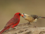 Northern Cardinals  Cardinalis Cardinalis  Food Exchange During the Breeding Season Eastern USA