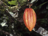 Ripe Cacao Fruit or Pod Cultivated United Fruit 667  One of Cultivated Clones at Catie Research