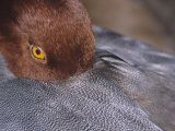 Close-Up of a Male Redhead Duck Head Resting  Aythya Americana  North America