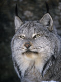 Canada Lynx Face  Lynx Canadensis  North America