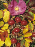 Rose Flower  Rose Hips  and Fall Leaves  Rosa Rugosa  North America