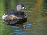 Pied-Billed Grebe Swimming  Podilymbus Podiceps  North America
