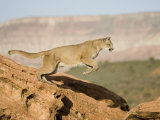 A Puma  Cougar or Mountain Lion  Running and Jumping  Felis Concolor  North America