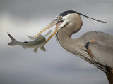 Great Blue Heron with Catfish  Ardea Herodias