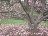 Saucer Magnolia Tree in Bloom and with Many Petals on the Lawn (Magnolia Soulangiana)  USA