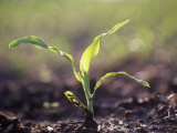 Corn Seedling  Zea Mays