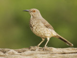 Curve-Billed Thrasher  Toxostoma Curvirostre  Texas  USA