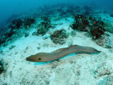 Giant Moray (Gymnothorax Javanicus) Pacific Ocean  Borneo