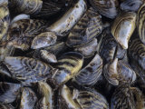Zebra Mussels from Lake Erie    Dreissena Polymorpha