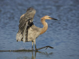 Reddish Egret Fishing with its Wings Outstretched  Egretta Rufescens  Southern USA