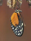 Butterfly  Heliconius Hecate  Emerging from its Chrysalis
