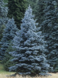 Colorado Blue Spruce (Picea Pungens)  Colorado State Tree  USA