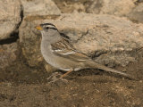 White-Crowned Sparrow at a Water Drip for Attracting Birds (Zonotrichia Leucophrys)  North America