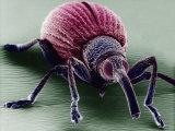 A Snout Beetle
