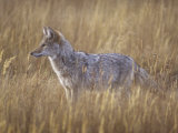 Coyote Hunting in a Grassland  Canis Latrans  North America