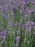 Lavender Herbs in Bloom (Lavandula Angustifolia)