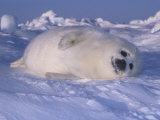 Harp Seal Pup Protectively Colored on Snow (Phoca Groenlandica)  Arctic Canada  Atlantic Ocean