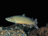 Bull Trout (Salvelinus Confluentus)  a Threatened Species in Western United States