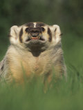 Badger Snarling  Taxidea Taxus  North America