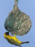 Vitelline Masked Weaver at its Nest  Ploceus Velatus  Samburu  Kenya  Africa