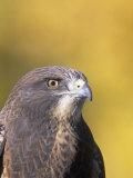Swainson's Hawk Head (Buteo Swainsoni)  North America