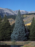 Colorado Blue Spruce (Picea Pungens)  Colorado State Tree  Rocky Mountains  Colorado  Usa